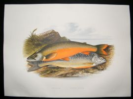Houghton 1879 Folio Antique Fish Print Torgoch, Alpine Charr